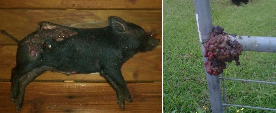 Dead pig at Cypress mosque